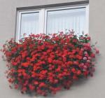 muskaty na okne