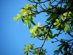 kvetouci kastan