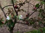 jablonove kvety