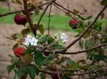 kvetouci jablon