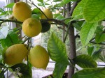citrusy na podzim