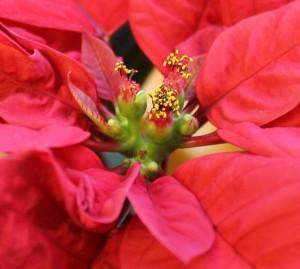 kvetouci vanocni hvezda
