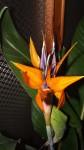 kvet strelicie