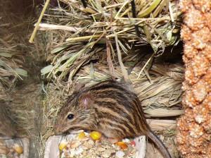 chov zebrovanych mysek