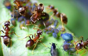 mravenci a msice (pixmac)