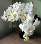 rozkvetla orchidej
