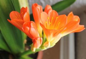kvet klivie