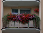 rozkvetle balkonovky