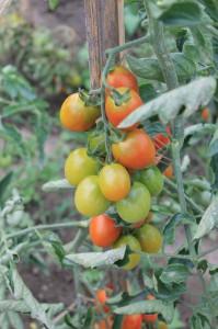 svinovani listu rajcat
