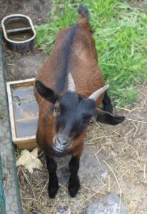 chovame kozy
