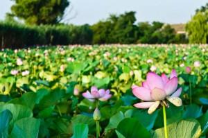 lotos v prirode