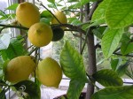 citrusy plody