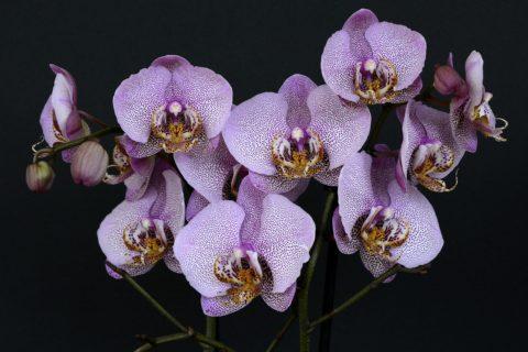 orchideje teckovane