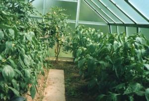 papriky a rajčata nových odrůd ve skleníku