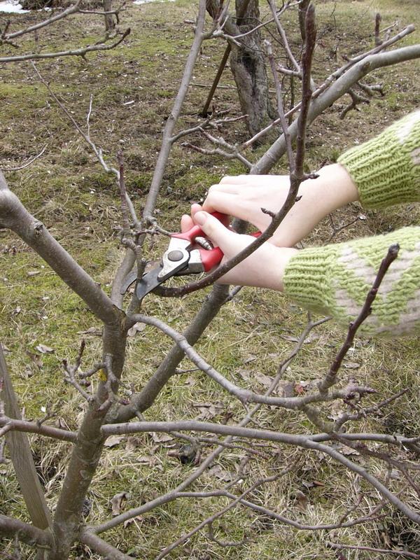 jak řezat peckoviny jabka hrušky