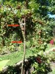 přivazování ovocných stromků