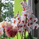 orchide nahled