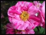 keltské růže