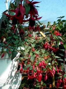 nové odrůdy fuchsií