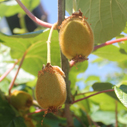 kiwi ovoce