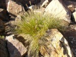 soliterní trávy