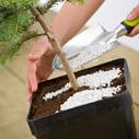 konifery pestovani nahled