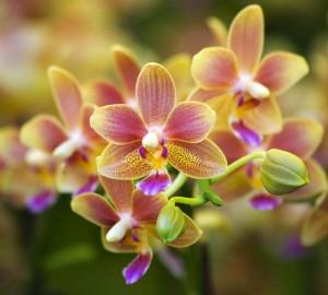 orchidej ošetřená lignohumátem