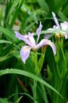 drobnokvety iris