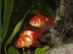 okrasne ryby
