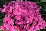 chryzantema multiflora