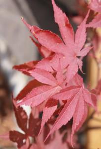 japonsky javor cerveny