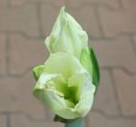 amarylis zeleny