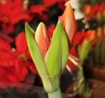 amarylis kvet