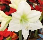 amarylis svetly