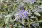podzimni orechoplodec