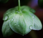cemerice zelena
