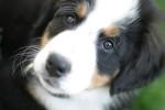Bernsky salašnicky pes