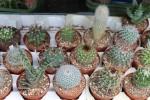 kaktus na pesazeni