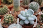 kaktus presazeni