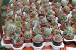 kaktus presazovani
