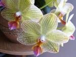 orchidej zeleno-ruzova