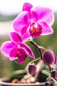 phalaenopsis orchidej