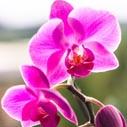 phalaenopsis orchidej nahled