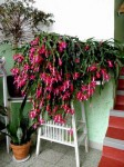 vanocni kaktus v panelaku