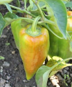 paprika na pole
