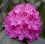 rhododenron kvet