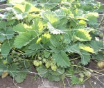 jahody pod siti