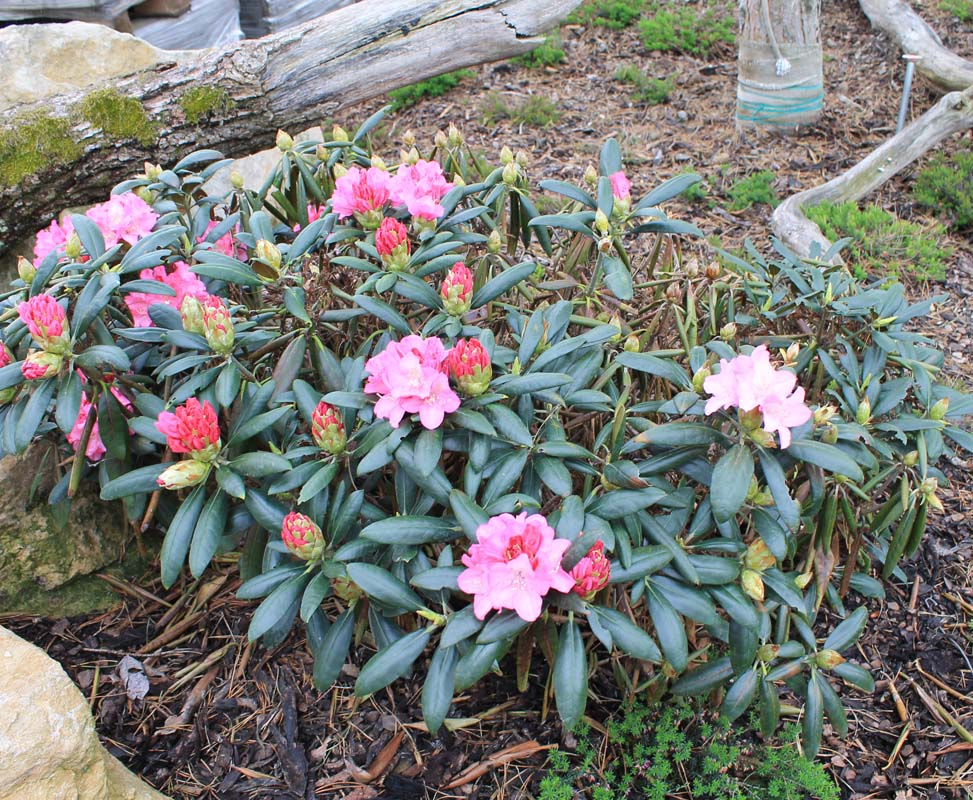 kyselomilne rhododendrony