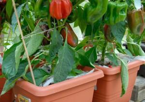 papriky v samozavlazovacim truhliku