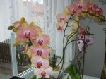 dvoubarevne orchideje